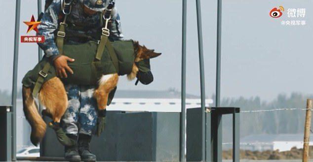 帥氣德牧空降練「雙人跳傘」 全程遮眼完美落地...比人類還專業