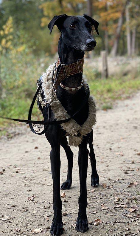 狗狗界長頸鹿!被獵人「用完即棄」 善良情侶領回家:牠太「神速」好困惑❤