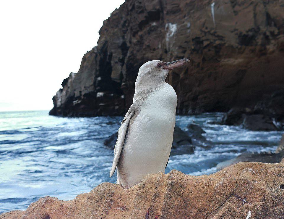 超罕見「史上第1隻白企鵝」現身 專家研判:不是白化症