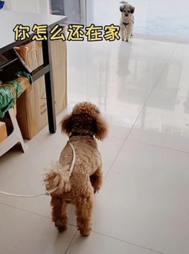 影/貴賓犬被繩綁著!同伴用「狗語教牠脫身」神展開