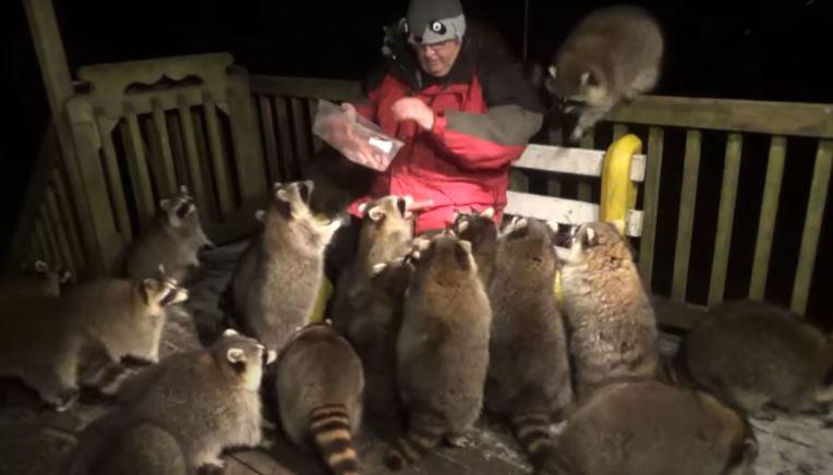 「整群浣熊」每晚都來關心老翁...全是因為「老婆的遺願」