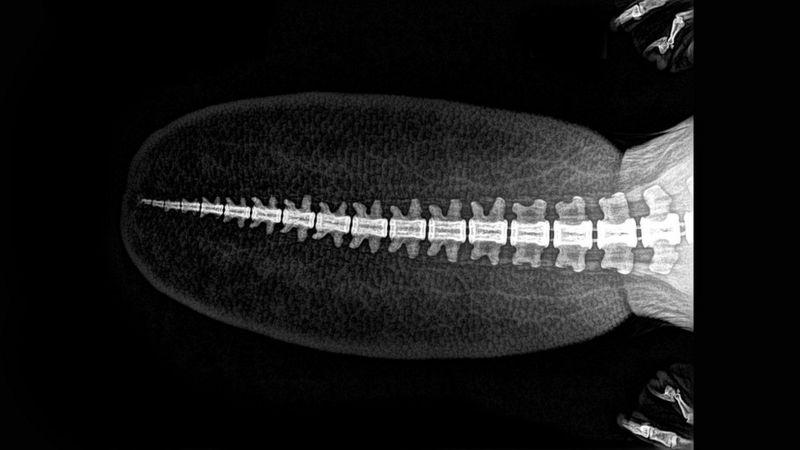 16張「動物X光照」嚇壞你 貓頭鷹羽毛下藏著「9頭身」!
