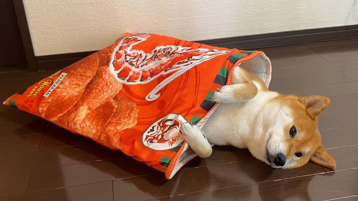 萌柴最愛睡「餅乾袋」 爽躺泡麵碗一掀開:你的柴味豆皮好囉~