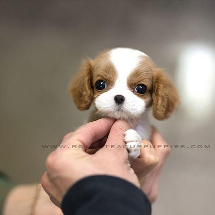 可愛茶杯犬