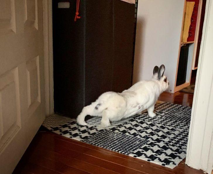 20隻比人還專業的「寵物瑜珈大師」 拉筋哀號被「兔子鄙視」