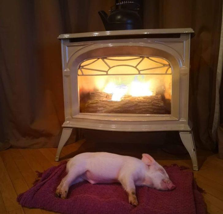19隻讓你「不小心領養」的萌豬仔 倒烤爐旁睡傳出香味...