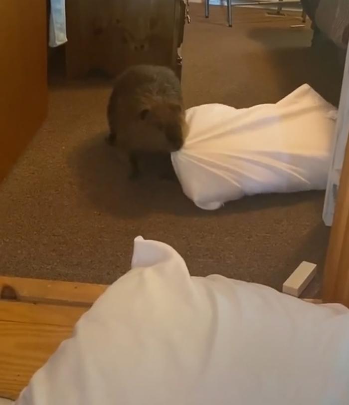 孤兒小海狸入住人類家 每天練習「海狸必備技能」萌到困擾