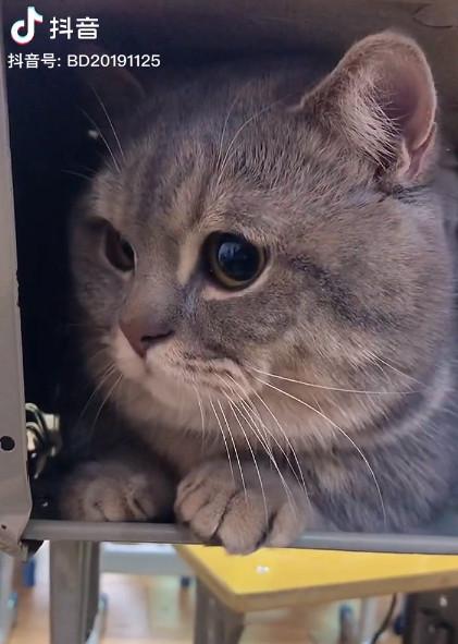 影/不想分開!貓奴無奈「帶貓主子上課」 抽屜「探頭」過程太萌啦♥️