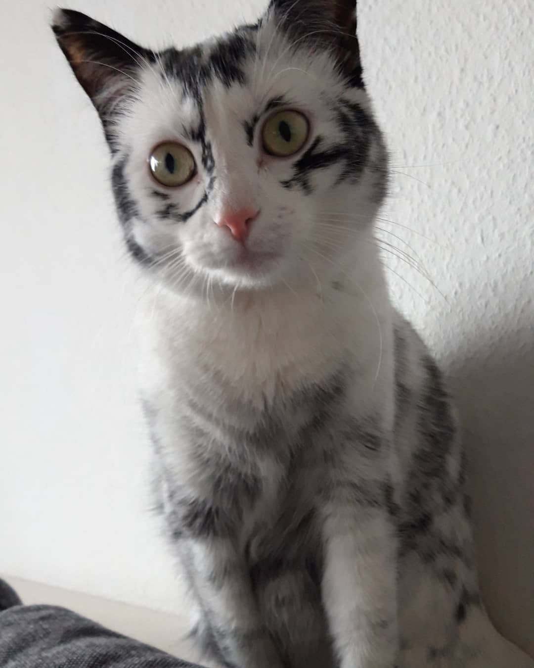 出廠忘了定色劑?賓士貓養成黑白虎斑 醫生證「有病」讓人好想給牠抱抱QQ