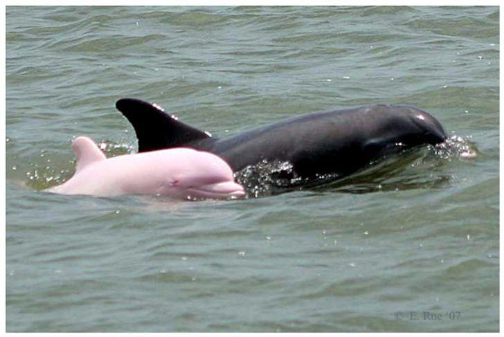 上帝的美麗錯誤?超罕見「夢幻粉海豚」躍出海面!