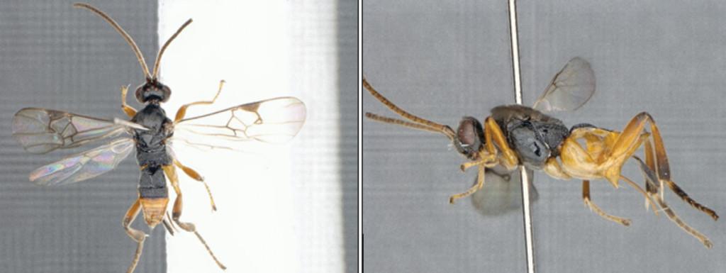 新物種「哥吉拉黃蜂」神秘現身 能「潛水寄生」用聽的就抖爆