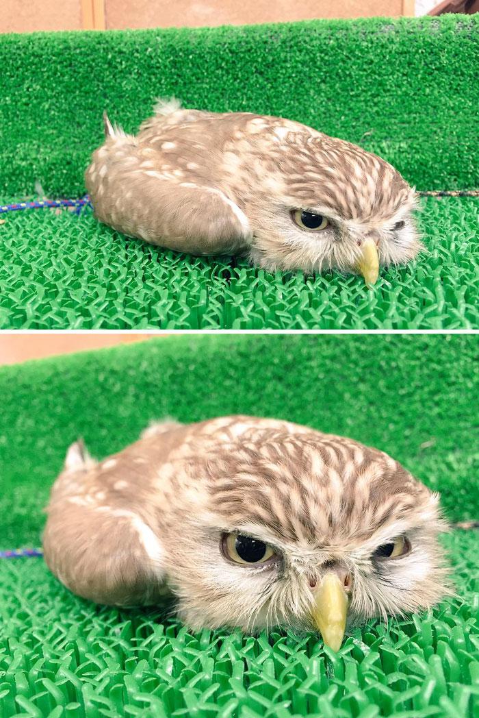 18個「小貓頭鷹睡姿」萌出新高度 睡到「頭也不見」太獵奇~