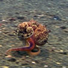 影/章魚海底不游泳 竟用「淑女小跑步」徒步狂奔!專家:牠們在扮椰子殼