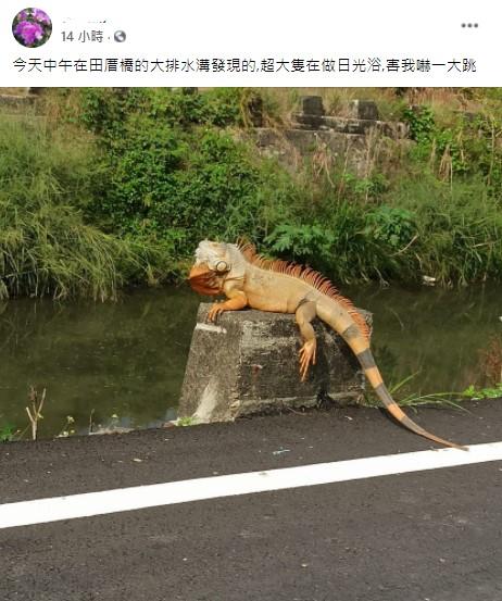 屏東驚見「野生哥吉拉」?Chill曬太陽嚇壞路人:牠們在台灣沒天敵