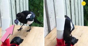 垃圾換食物!男子成功訓練「喜鵲」做資源回收 家附近變超乾淨