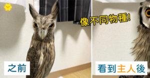 貓頭鷹警戒瘦成「兇巴巴樹枝」 發現是主人秒變「澎澎大圓球」最萌反差!