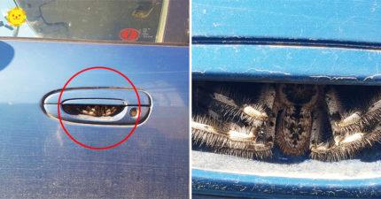 以為是帝王蟹!打開車門差點「握住巨蜘蛛」 車主崩潰:才1週而已