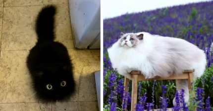 25隻「就像抱著一個暖爐」的蓬鬆MAX萌貓 牠真的不是地毯!別踩到喔~