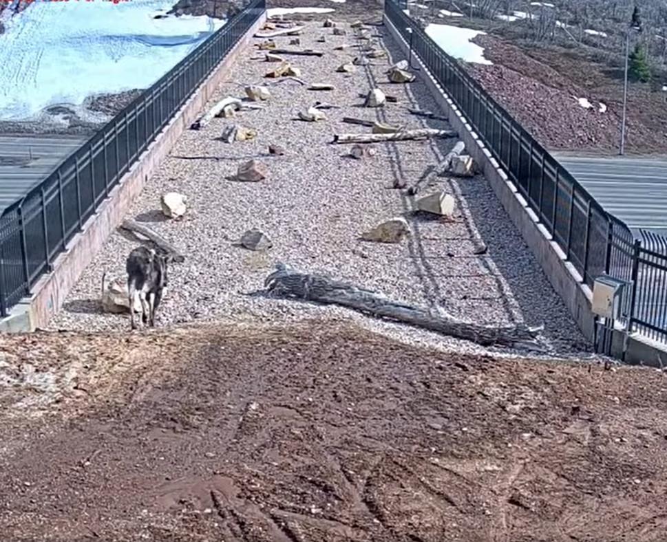 為保護生命而蓋的「天橋」 裝「監視器偷拍」驚喜發現:超多動物會用!