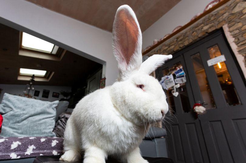迷你小兔一年長成「XL大沙包」 超巨型原因證明「人類太壞了」