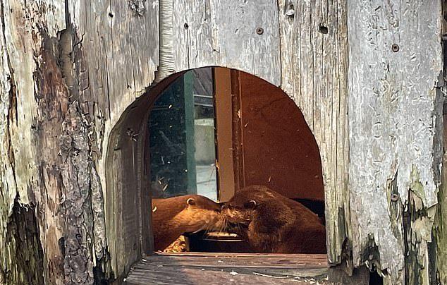 水獺「失去另一半」每天超憂鬱 飼育員「幫聯誼」擺脫孤單!