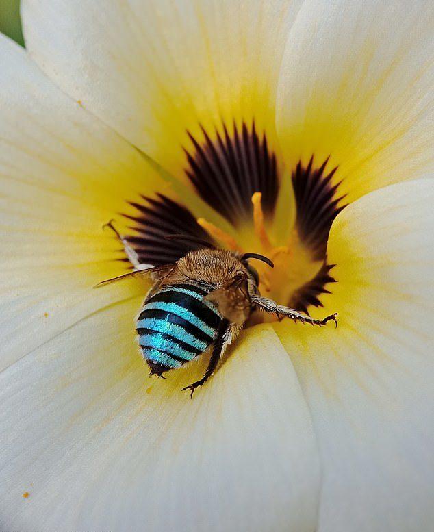 不只有黃色!超美「金屬藍蜜蜂」真實存在 有毒刺卻「對人類很nice」