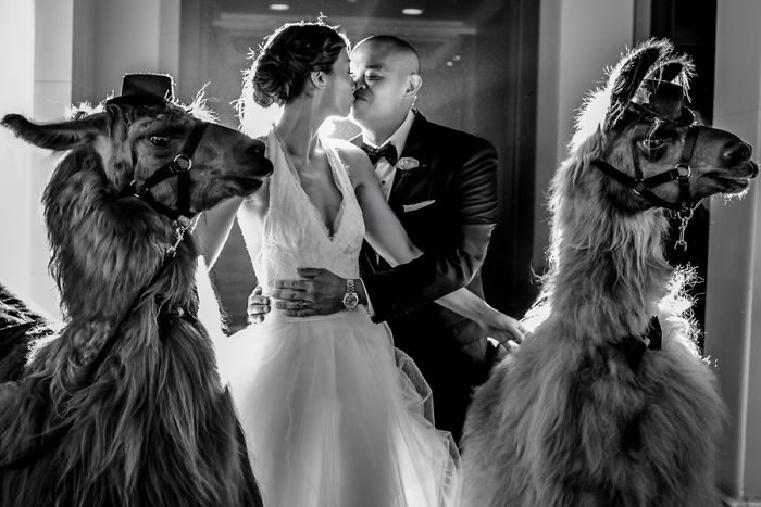 沒朋友也OK!婚禮不怕邊緣 讓「羊駝&駱駝」當你的伴娘♥