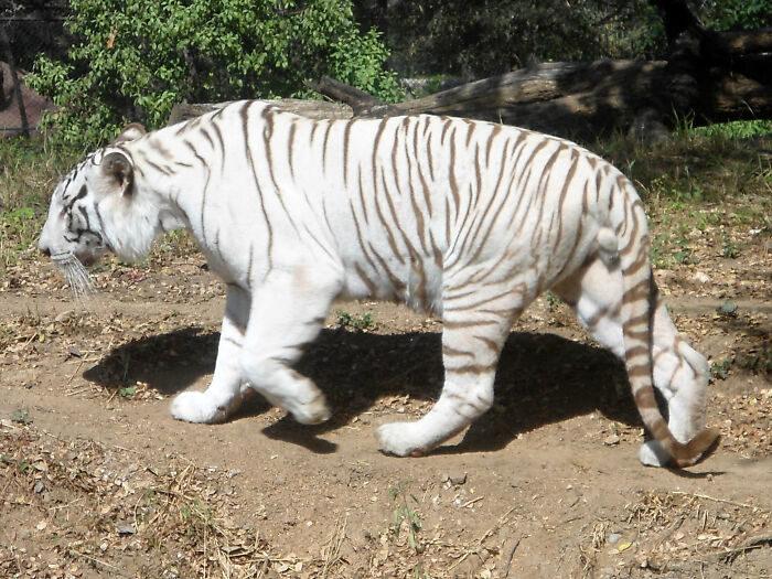 史上首次拍到「純白美洲獅」現身!第一次見也是最後畫面