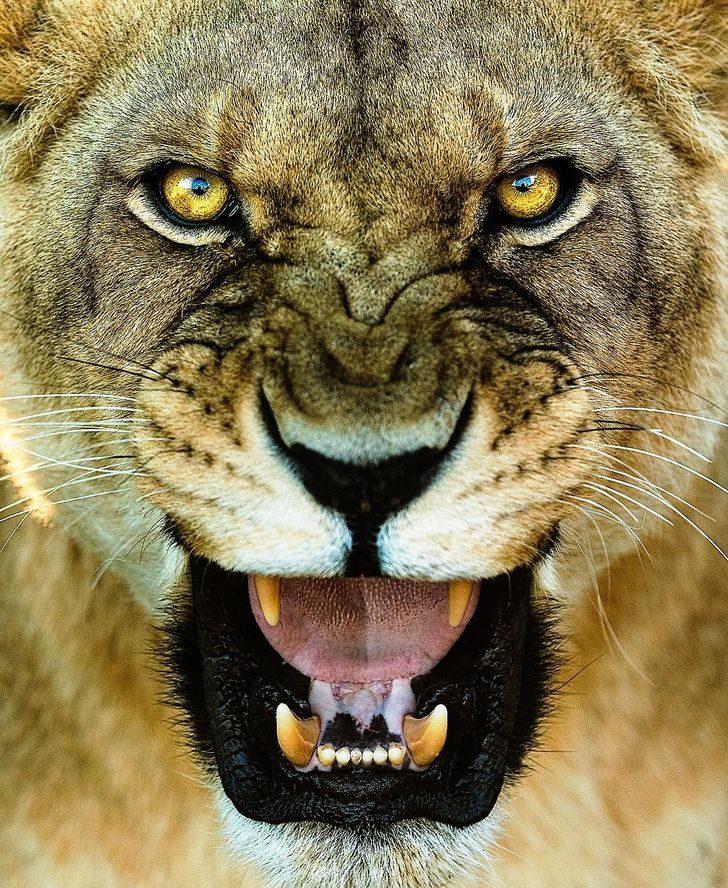 攝影師「玩命拍攝」罕見絕美白獅 翻開作品才發現:根本是大傻貓!