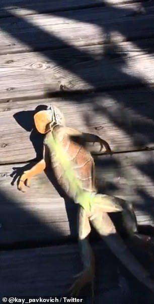 佛羅里達天將蜥蜴-蜥蜴肉料理
