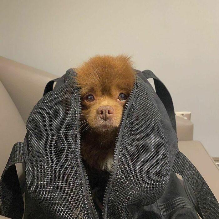 博美「太大賣不掉」遭拋棄 被領養「越長越不像狗」:意外養到一隻小熊❤