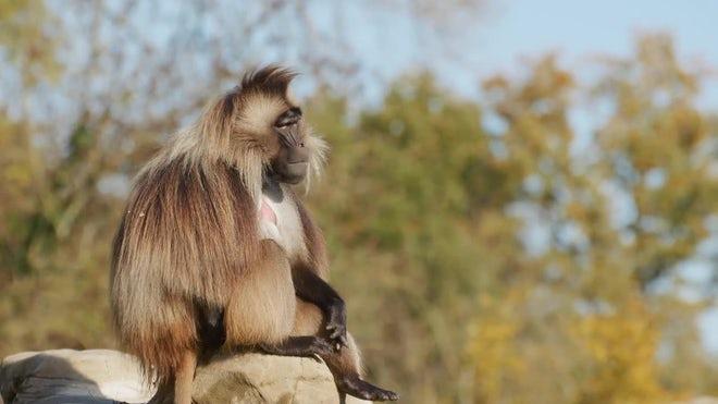 猴子也會搞孤僻!活越老「越不想交友」社交模式跟人類一樣