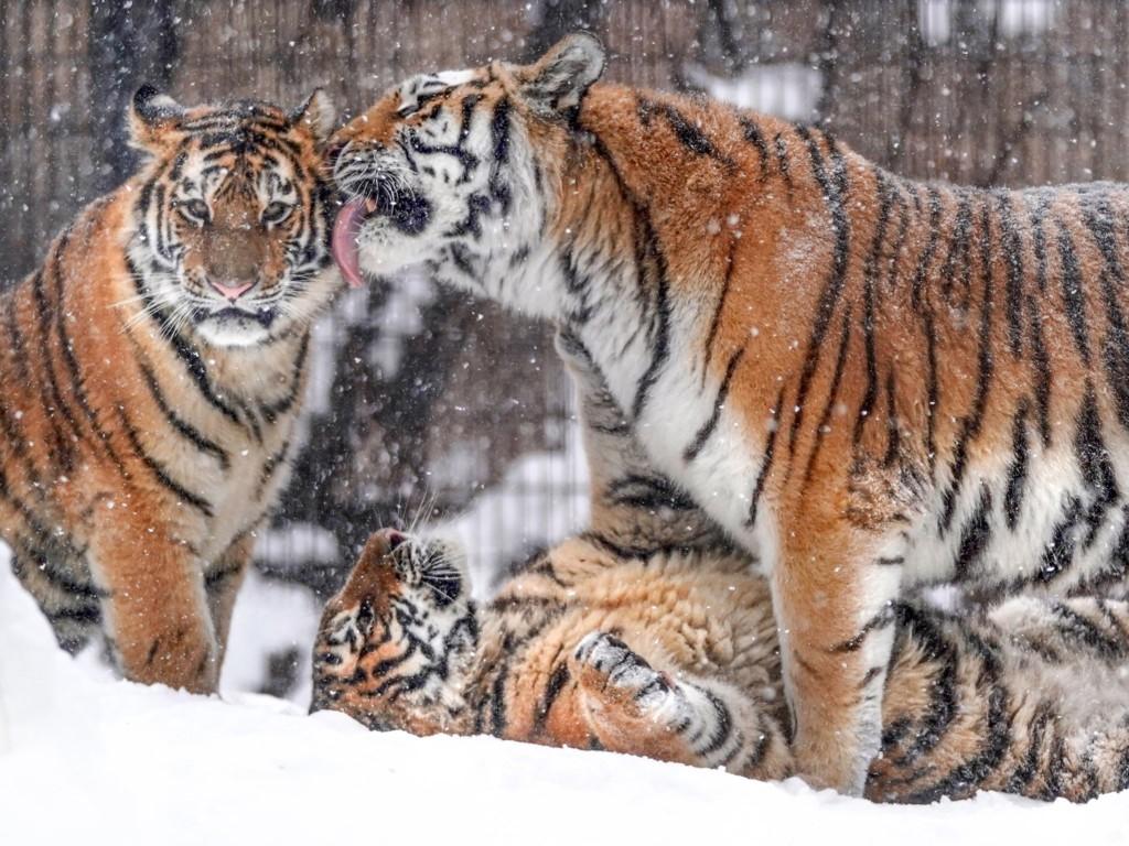 動物園「仙氣白老虎」以為跑錯棚 牠「一抖現真身」:糖粉灑太多啦!