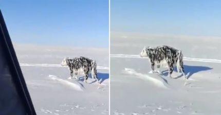 牛牛散步一半突然不動 近看「整隻冰封」路人傻眼