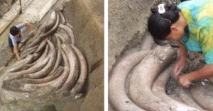 考古團隊挖出1000根象牙 專家一看「表面變化」變臉:快撤退!