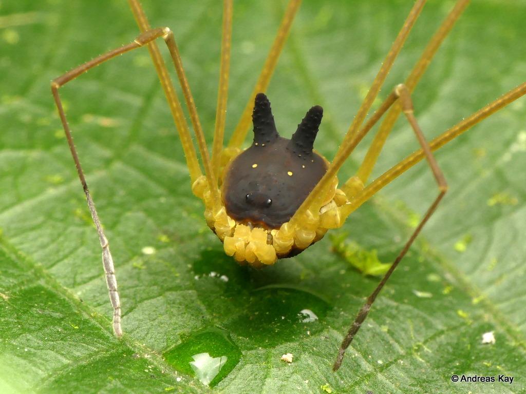 蜘蛛「頭是黑色兔子」正面近看超傻萌 專家曝足跡:恐龍也要叫牠們前輩!