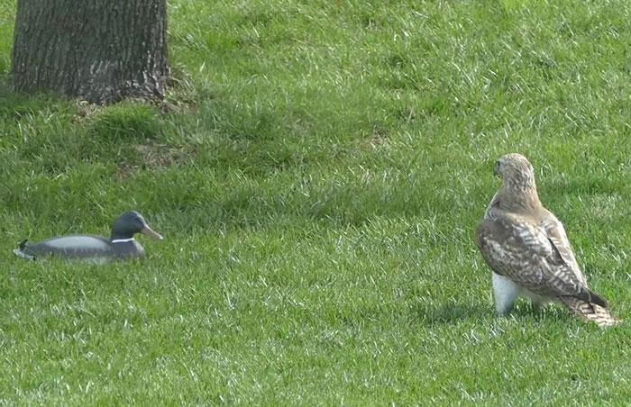 你怎都不逃?老鷹被「鴨子」無視好困惑 氣炸「二哈上身」:看我巴頭神功!