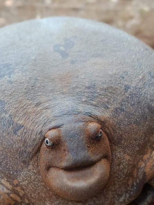 好像永遠對著你笑「真.戽斗星球」生物 以為是「無殼龜」專家:不是龜!