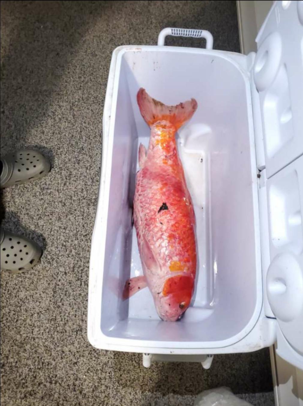 園遊會「撈小金魚」帶回家以為很快掛 牠「默默活40年」尺寸嚇傻全家