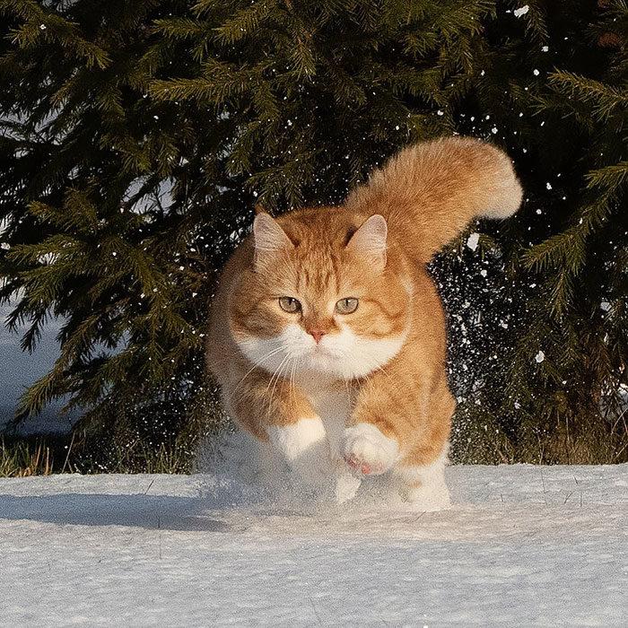 可愛胖橘平常超慵懶 遇上雪「畫風180度轉變」:雪地就是偶的天下!