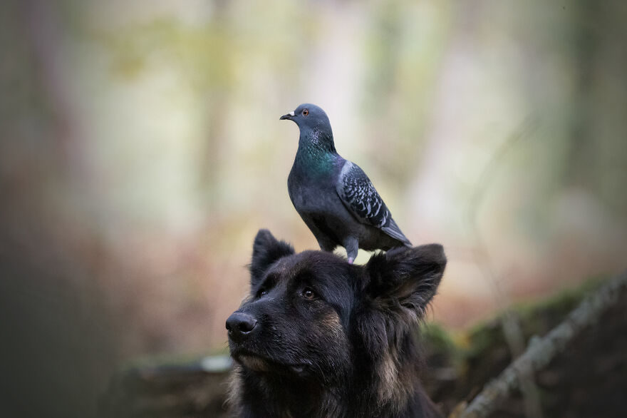童話是真的?狗狗+鴨鴨+鴿子友誼超堅定 牠霸氣坐「狗頭公車」:出發囉~