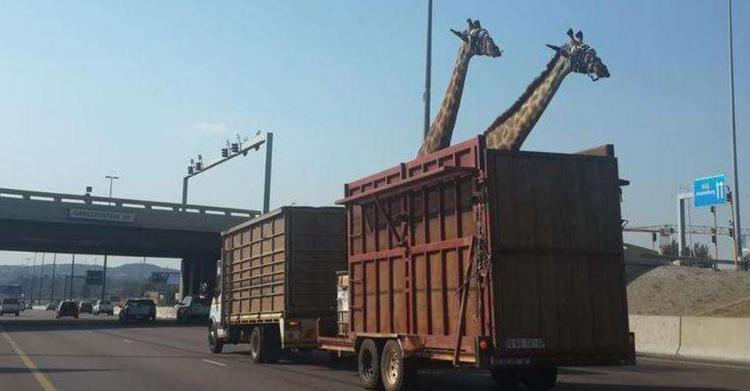 運輸長頸鹿