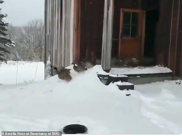 影/看到雪興奮奔出...鴨鴨集體崩潰「衝回屋」!網笑:聽到罵「X!冷死」