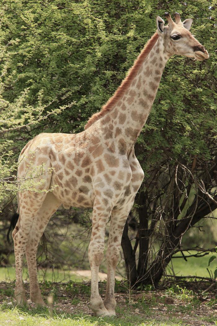 長頸鹿不長頸!專家驚喜發現「短頸鹿」現身 「短腿+俏皮小尾巴」萌爆❤