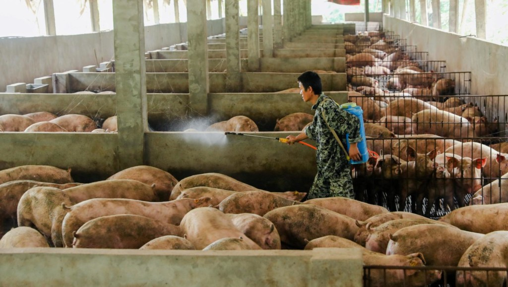 中國出現「新型豬瘟」 路透社:施打「山寨疫苗」引發!