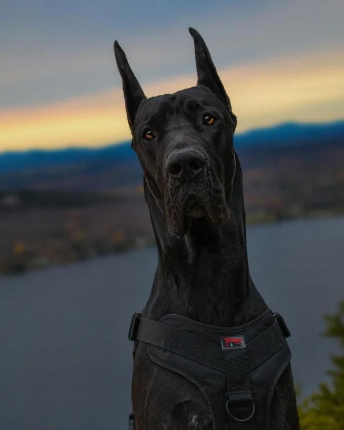 「狗界蝙蝠俠」全身照凶悍度爆表 但特徵「尖尖耳」是人類最自私行為!