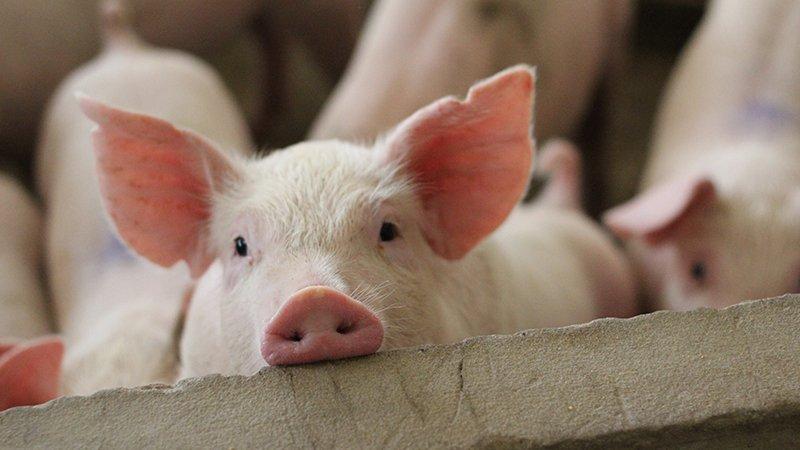 便當店公告元旦起「用台灣豬漲10元」 網傻眼:以前吃的是什麼豬?
