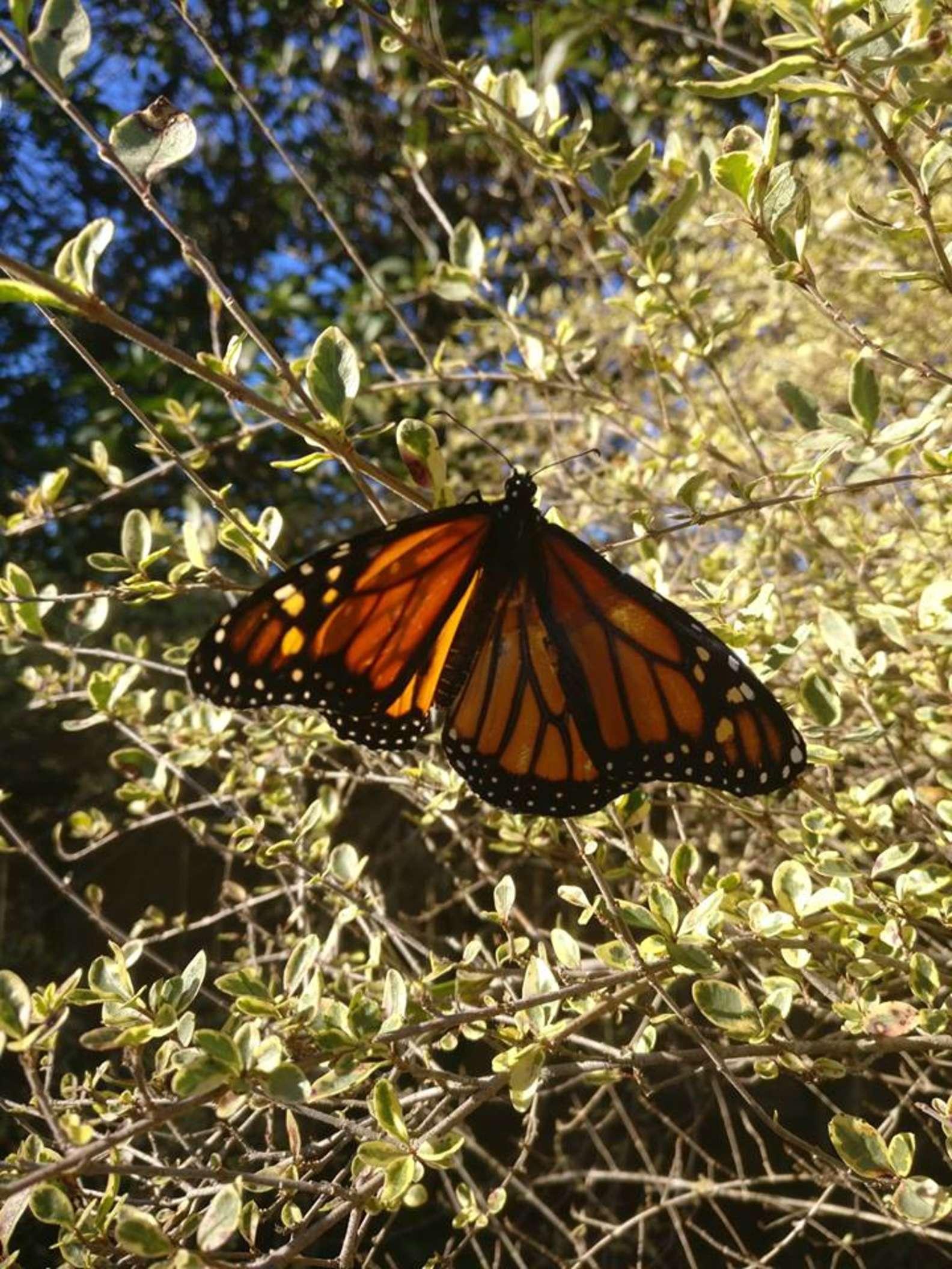蝴蝶一半翅膀裂開快活不下去 她巧手「修復到像新的」...再一次飛起來!