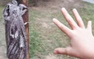 散步遇「比手掌大」飛蛾 為了「恩愛」完全不畏風吹雨打