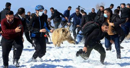 動保「野放6棕熊」全場拍照圍觀 一開籠「轉身暴衝人群」